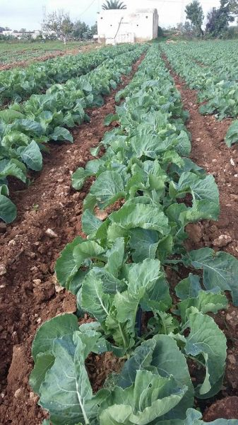 The crops are significantly enhanced with GMX treated water - Tunisia