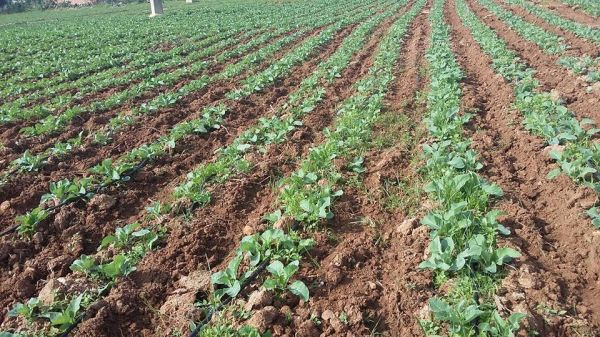 The difference with and without GMX treated water on fields in Tunisia
