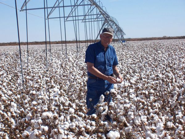 a field of good cotton treated wtih GMX